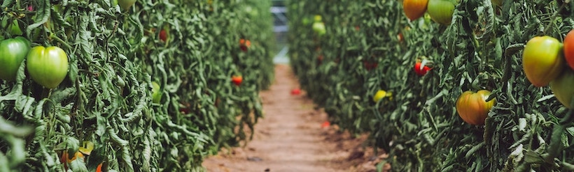 Row of tomatoes with a path