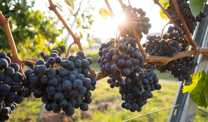 Bunches of grapes on a vine with sun in background