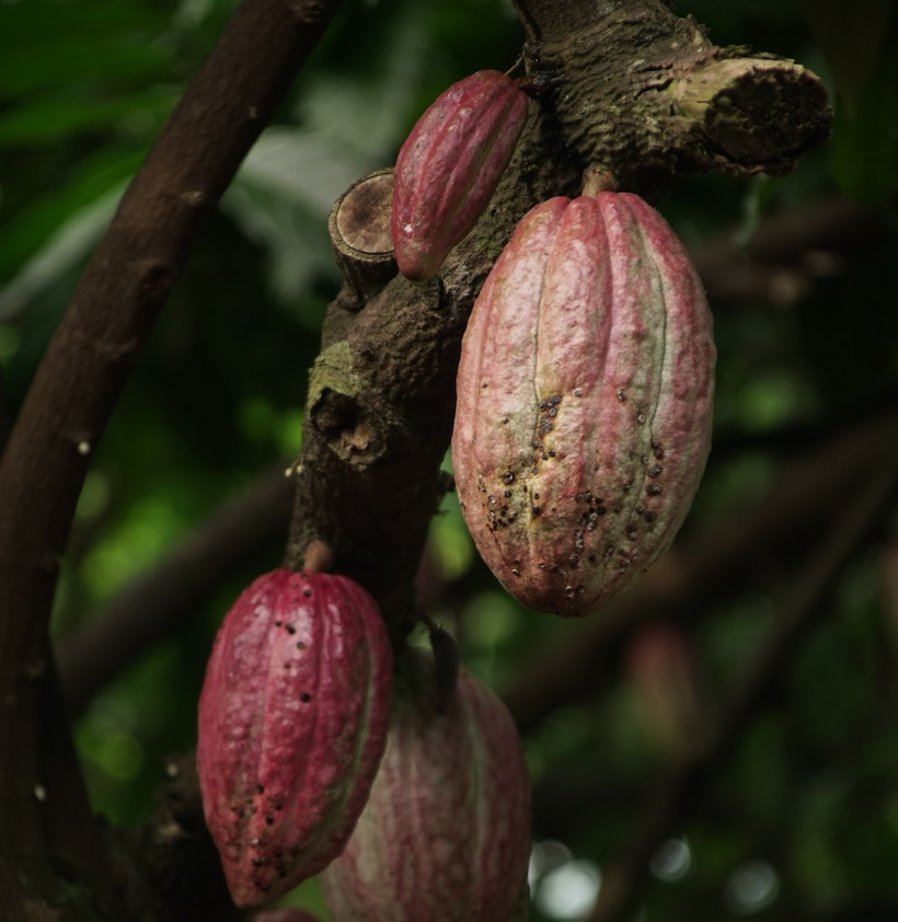 Cocoa fruits on a cacao tree