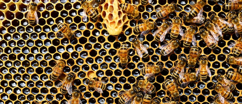 Closeup of a honeycomb with bees