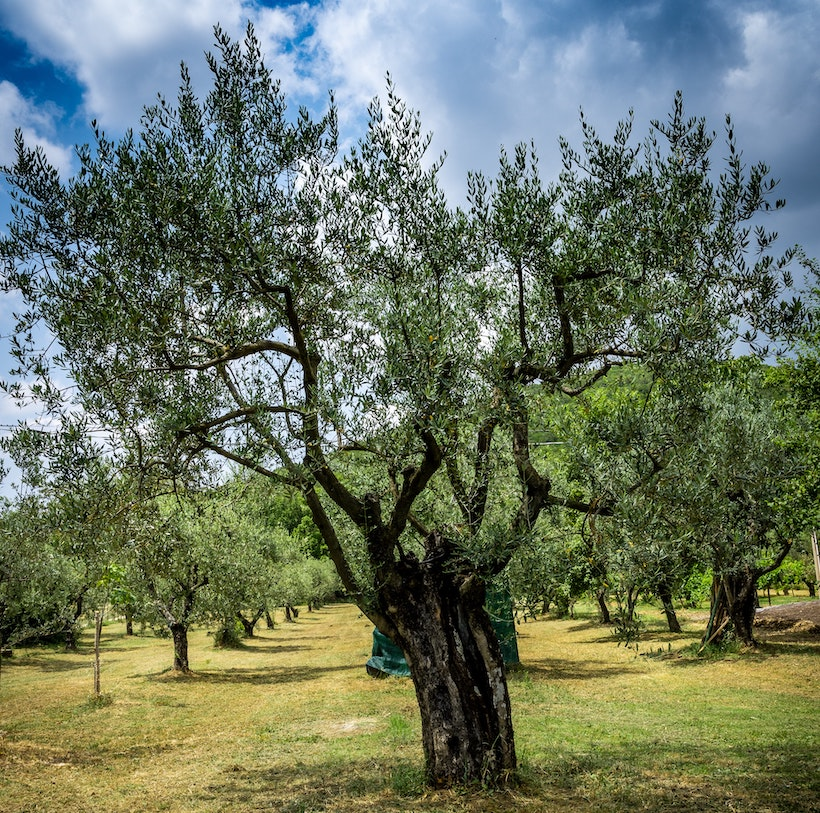 An olive tree in Amelia, Umbria, Italy