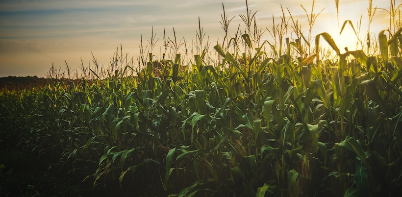 Field of corn with intense sun
