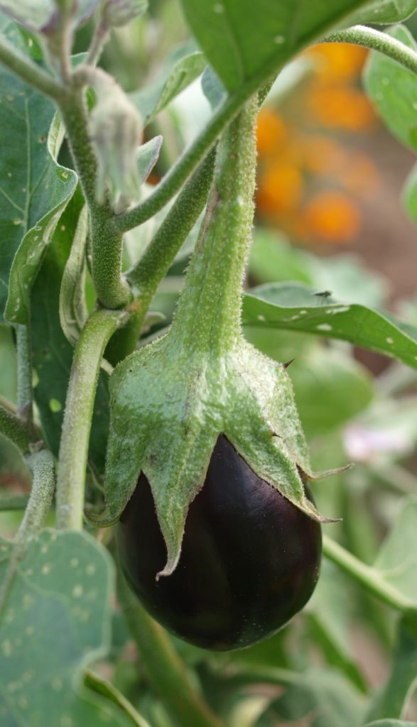 An eggplant ripening on the vine