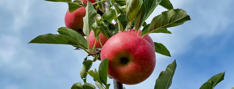 Apples on a branch shot from below