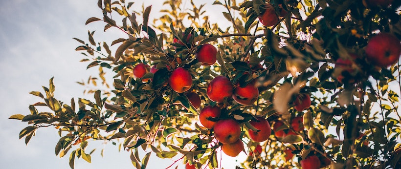 Bunch of apples on the branch of an apple tree