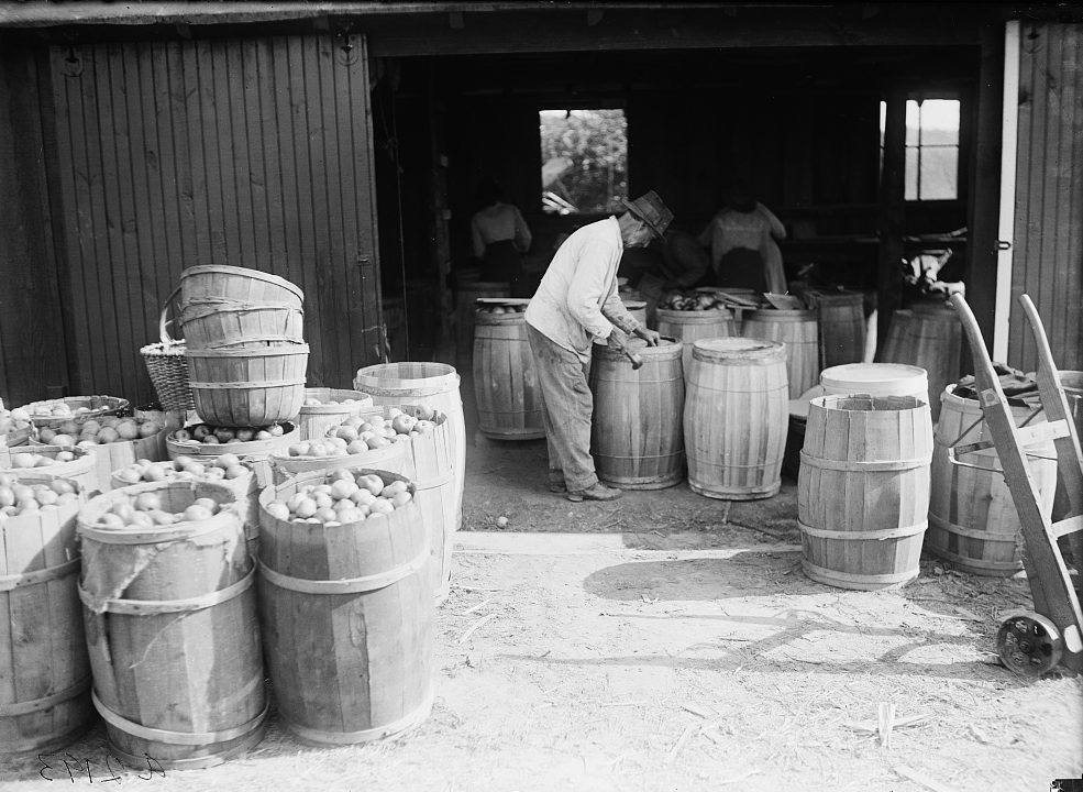 Adding apples to barrels in 1915